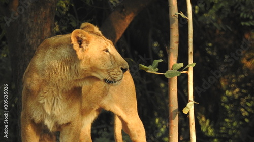 Fototapety, obrazy: Predator´s love. Lioness. A closeup shot of a magnificent lioness on a road in the African jungles. A closeup shot of a magnificent lioness on a road in the African jungles