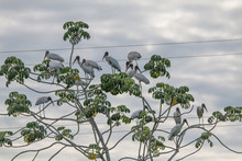 Wood Storks In The Pantanal Re...