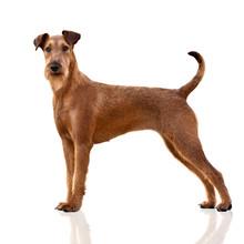 Irish Terrier Dog Standing On White Background