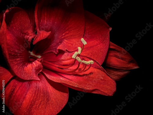 Close up of beautiful red bloomin Amaryllis flower