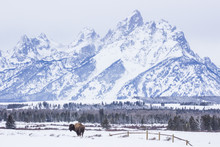 Winter Bison At Grand Teton
