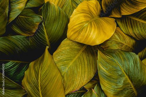 liscie-spathiphyllum-cannifolium-streszczenie-tekstura-zielony-tlo-natura-lisc-tropikalny