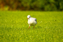Gull Walking In The Grass In The Morning