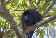 Black And Gold Howler Monkey I...