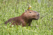 Capybara With A Bird On The He...