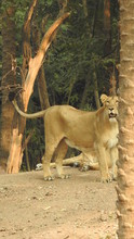 Lioness Resting On Rock A Clos...