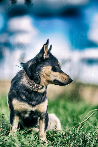 Watchdog in the grass. Photographed in retro style. Canvas Print