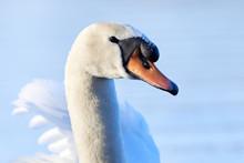 Mute Swan Head Closeup ( Cygnus Olor )