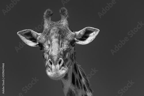 Fototapety, obrazy: Giraffe in the Masai Mara