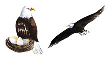 Two Decorative Elements. Bird Of Prey. Large Bald Eagle In The Nest With Eggs. A White-tailed Eagle Flying High In The Sky With Wings Spread. Hand Drawn Watercolor Sketch Illustration On White