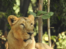 Close-up Of A Lioness Lying Do...