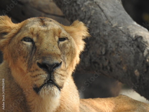 Fototapety, obrazy: Lioness resting on rock a close-up look with isolated background and covered with trees in forest. African female lion extreme detail closeup look. lioness portrait, head profile on soft background