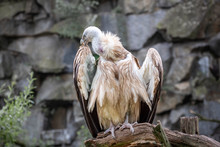 Griffon Vulture Birds Watching...