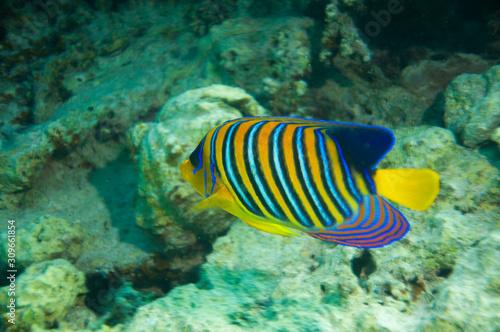 Fototapety, obrazy: Kaiserfisch