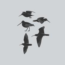Bird Woodcock