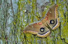 Polyphemus Moth (Antheraea Polyphemus) Resting On Tree Trunk