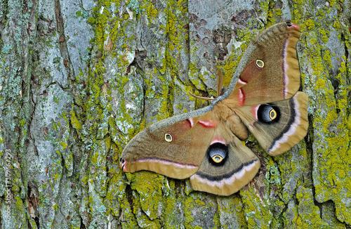 Polyphemus moth (Antheraea polyphemus) resting on tree trunk Canvas Print