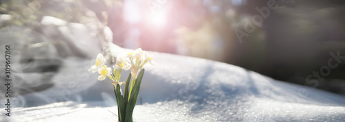 fototapeta na ścianę The first spring flower. Snowdrop in the forest. Spring sunny day in the forest.