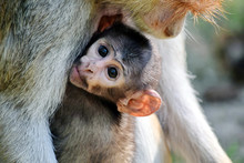 Cute Patas Monkey Baby Holding Her Mom Portrait