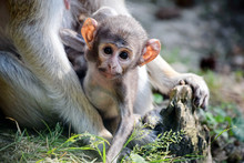 Cute Patas Monkey Baby Holding...