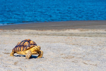 Turtle On The Beach. Turtle Cr...