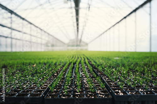 Seedlings of coniferous trees. Pine seedlings grown in commercial greenhouse. Young pine trees for forestry. Small seedlings of pine grown in cultivation tray.