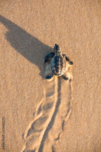 Fényképezés Leatherback hatchling rushing to the water at Bahia State, Brazil