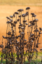 Tall Dry Thistle