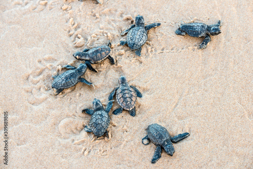 Valokuvatapetti Seven sea turtle hatchlings going to the water