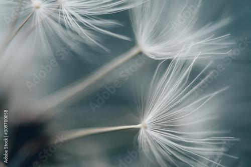 Fototapeta dandelion obraz