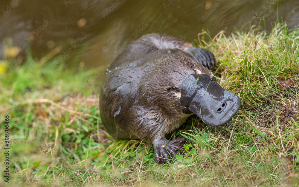 Fototapeta A platypus leaves the water to bask in the sun