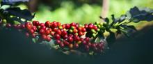 Close Up, Arabica Coffee Berry...