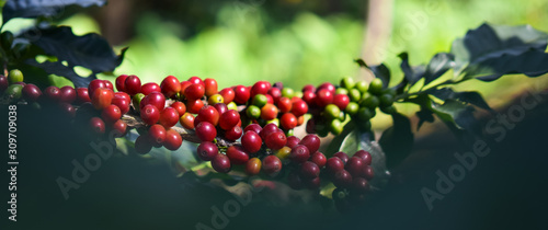 Close up, Arabica coffee berry ripening on tree, coffee beans in North of thailand, Blur background Wallpaper Mural