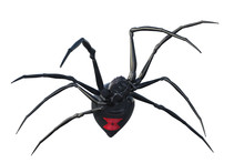 Black Widow Spider Isolated On...