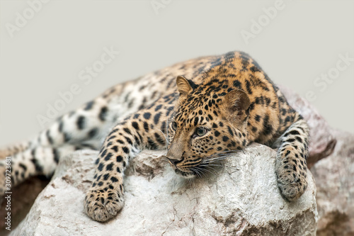 Photo Adult male persian leopard (Panthera pardus saxicolor) sleeping in the daytime o