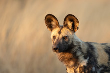 African Or Cape Hunting Dog, S...