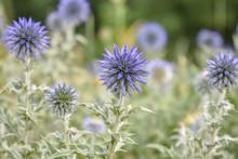 Purple Wild Flower Field