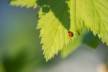 Tiny Ladybug On A Green Leaf O...