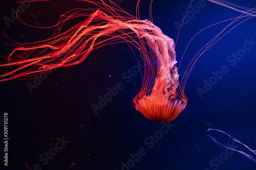 Bright lash lava colourful glowing jellyfish in the dark water,  dark background Tableau sur Toile