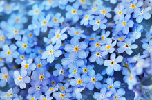 Spring Blue Forget-me-nots Flo...