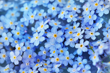 Spring blue forget-me-nots flowers posy, pastel background, selective focus, ...