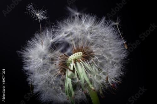 Fototapeta dandelion on black background obraz