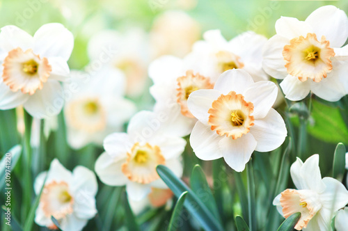 Fototapeta Spring blossoming yellow daffodils, springtime blooming narcissus (jonquil) flow