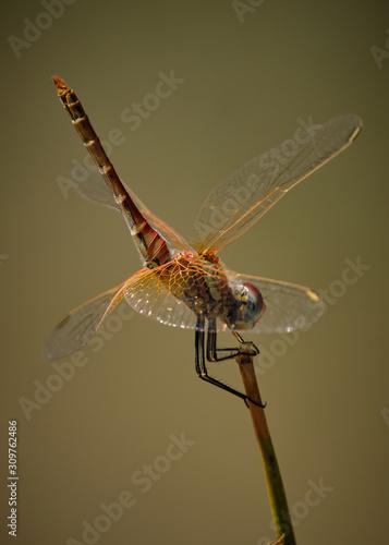 Photo insecto libelula macro