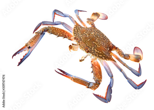 Flower crab or blue swimmer crab, or sand crab Canvas Print