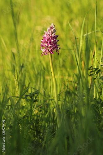 storczyk trójzębny Orchis tridentata - 309770498