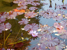 Water Lily Flower And Leaves R...