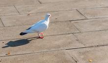 White Dove Walks On The Ground...