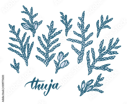 Hand drawn thuja branches. Line drawing, sketch. Vector illustration. Wall mural