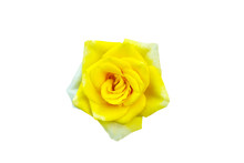 Yellow Rose Blooming With Colo...